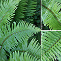 Fern Collage by Carol Groenen
