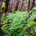 Fern In Forest by Alex Grichenko