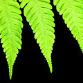 Fern Isolated On Black Background by Design Pics Vibe