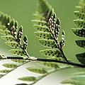 Fern Seeds by Lisa Knechtel