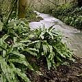 Ferns (asplenium Scolopendrium) by Science Photo Library