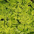 1m2436-ferns At The Base Of Mt. Robson  by Ed  Cooper Photography