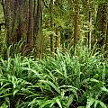1a2912-ferns In Rain Forest Canada  by Ed  Cooper Photography