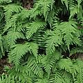 D3b6333-ferns In Sonoma 2  by Ed  Cooper Photography