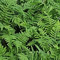 D3b6327-ferns In Sonoma by Ed  Cooper Photography