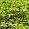 Ferns In Summer by Kerstin Ivarsson