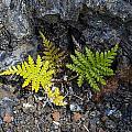 Ferns In Volcanic Rock by Daniel Murphy