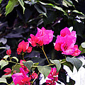 Fernwood Botanical Garden Bougainvillea Niles Michigan Usa by Sally Rockefeller