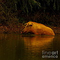 Ferrell Hog At Sunrise by Robert Frederick