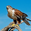 Ferruginous Hawk About To Take by Anthony Mercieca