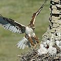 Ferruginous Hawk And Chicks by Anthony Mercieca