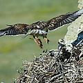 Ferruginous Hawk Bringing Food To Young by Anthony Mercieca