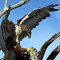 Ferruginous Hawk by Bruce Arnold