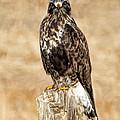 Ferruginous Hawk by Dan Sabin
