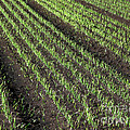 Fertile Farmland by Ann Horn