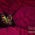 Festive Red by Jacky Parker