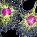 Fibroblast Cells Showing Cytoskeleton by Dr Torsten Wittmann