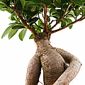 Ficus Ginseng by Fabrizio Troiani