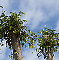 Ficus Leaves Against The Sky by Allan  Hughes