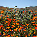 Fiddlenecks And Poppies by Susan Rovira