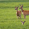 Field Deer by Steve McKinzie