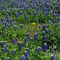 Field Of Bluebonnets by Hilton Barlow