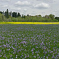 Field Of Camas And Western Buttercup by John Higby