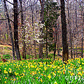 Field Of Daffodils by Kathy  White