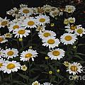 Field Of Daisies by William Norton