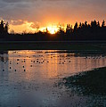 Field Of Ducks by Jan Noblitt