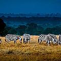 Field Of Feeding Zebra by Jim DeLillo