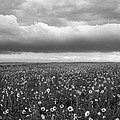 Field Of Flowers by Angelique Rea