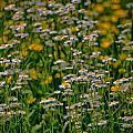 Field Of Flowers by Carolyn Ricks
