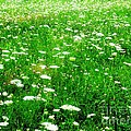 Field Of Flowers by Lisa Gifford