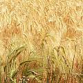 Field Of Gold - 3 by Ann Garrett