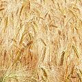 Field Of Gold - 4 by Ann Garrett