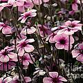 Field Of Lavender by Paul Gentille