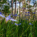 Field Of Louisiana Irises by Andy Crawford