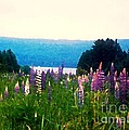 Field Of Lupines by Desiree Paquette