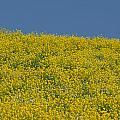 Field Of Mustard by Debra Wales
