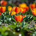 Field Of Orange Tulips by Alex Grichenko