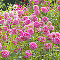 Field Of Pink Dahlias by Sharon Talson