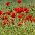 Field Of Poppies by Carol Lynch
