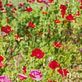Field Of Poppies Digital Art Prints by Valerie Garner