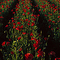 Field Of Poppies by Panoramic Images