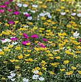 Field Of Pretty Flowers by Sabrina L Ryan