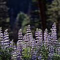 Field Of Summer Wildflowers Backlit Lupine  by Jim Corwin