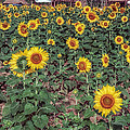 Field Of Sunflowers by Adrian Evans
