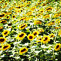 Field Of Sunflowers by Alice Gipson