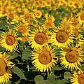 Field Of Sunflowers by Brian Jannsen